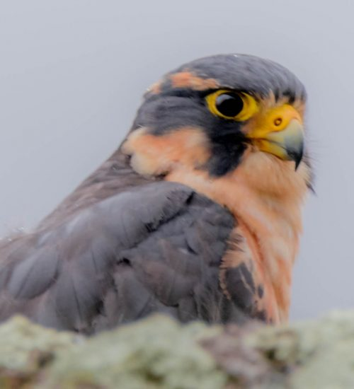 Bird watching Peru Eagle