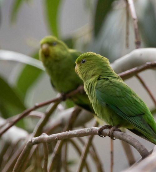 Bird watching Peru Green Parrot