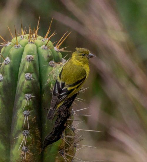 Cactus Bird Watching Peru Sacred Valley