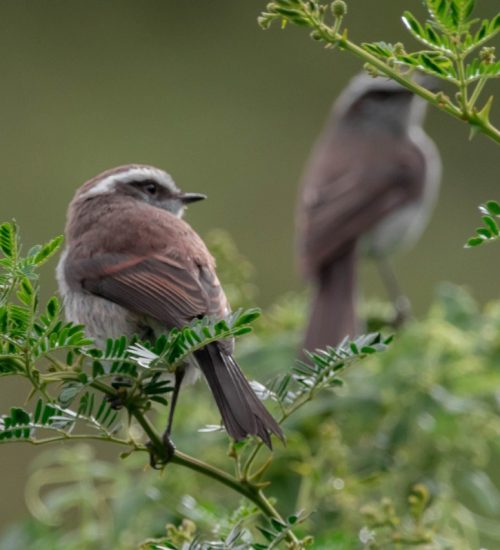 Ceja Blanca Bird Watching Peru Sacred Valley