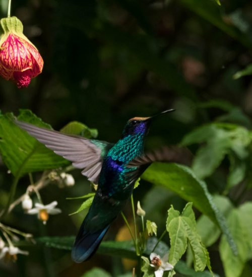 Colibri bird watching Sacred Valley farol