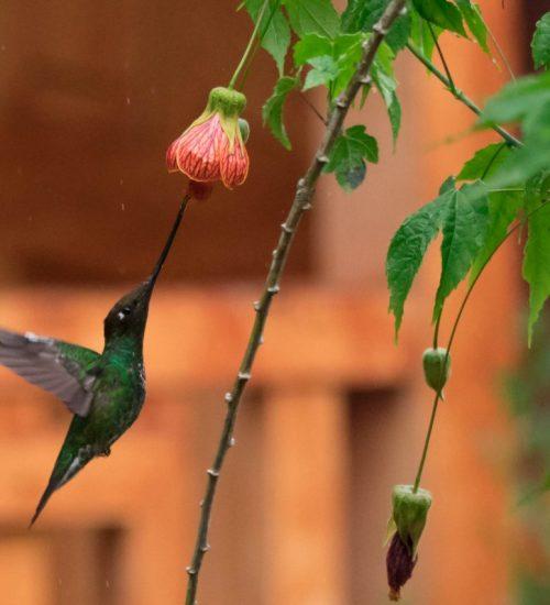 Colibri pico largo long