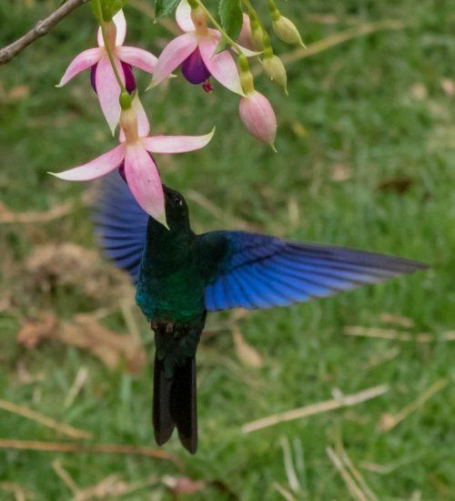 Colibri alas azules blue wings