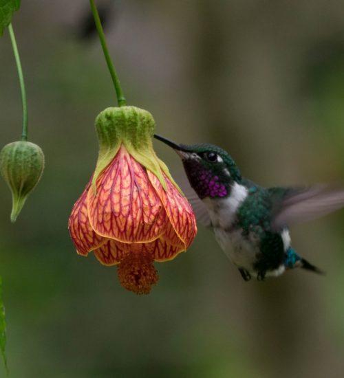 Colibri Mulsant