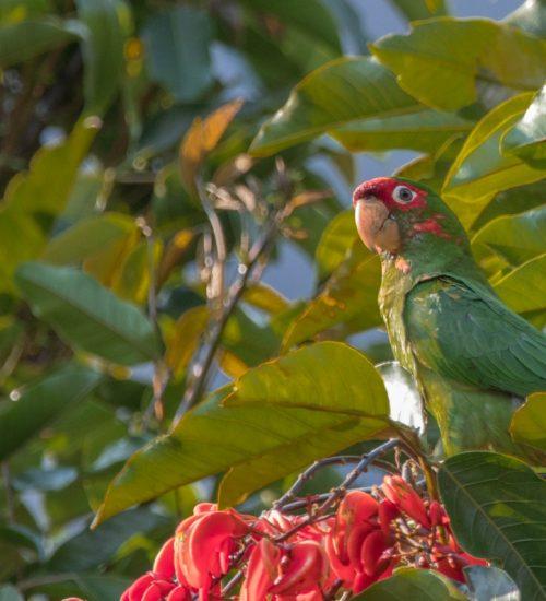 Hotel Molino Peru green parrot